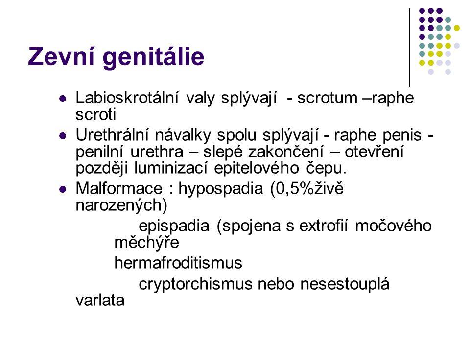 Zevní genitálie Labioskrotální valy splývají - scrotum –raphe scroti