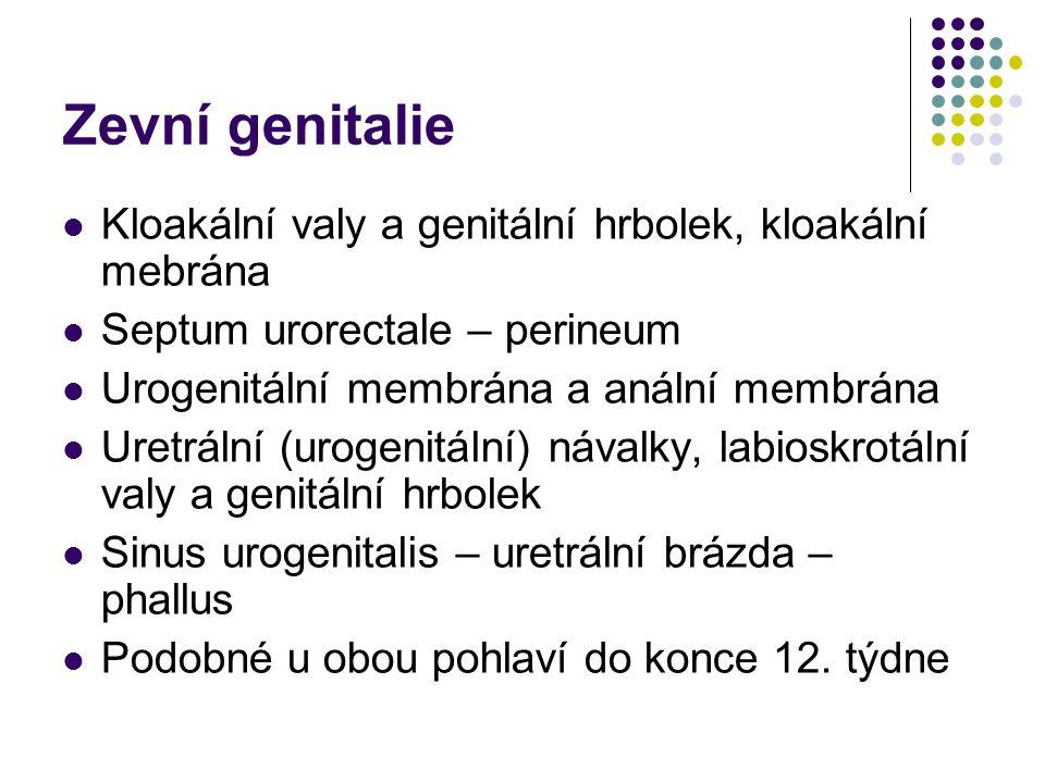 Zevní genitalie Kloakální valy a genitální hrbolek, kloakální mebrána