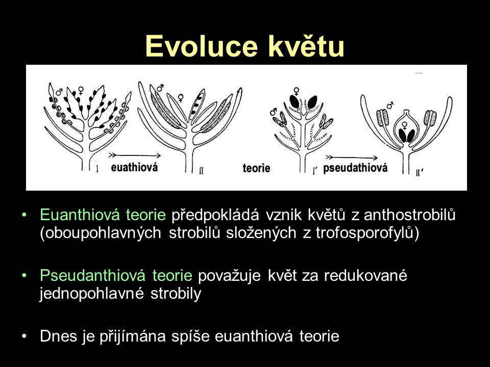 Evoluce květu Euanthiová teorie předpokládá vznik květů z anthostrobilů (oboupohlavných strobilů složených z trofosporofylů)