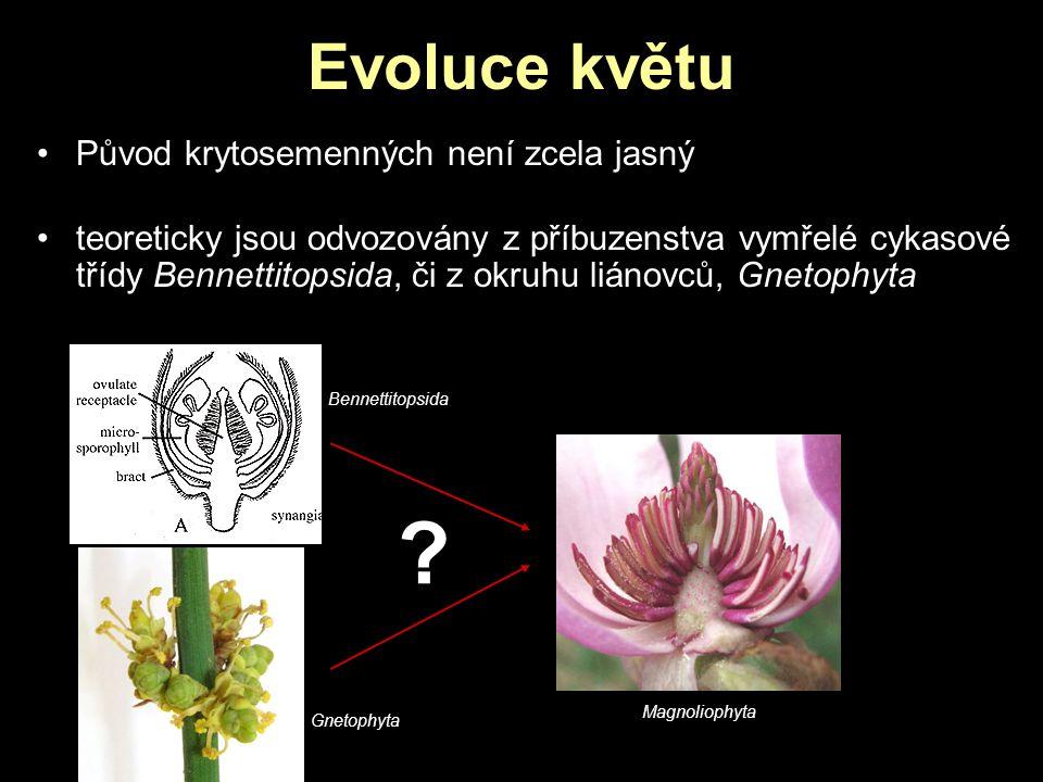 Evoluce květu Původ krytosemenných není zcela jasný