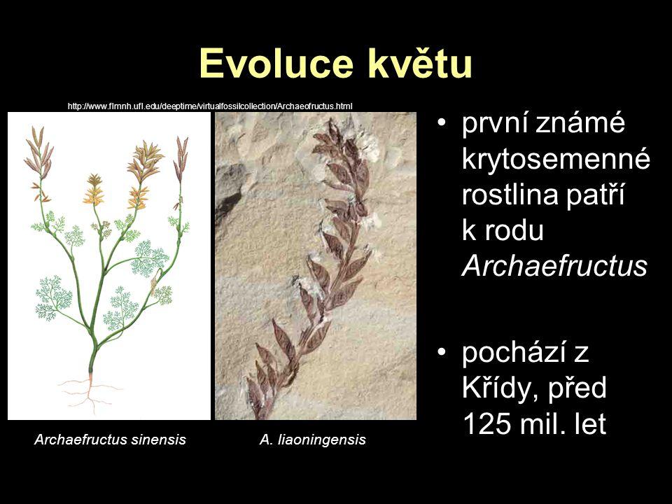 Evoluce květu http://www.flmnh.ufl.edu/deeptime/virtualfossilcollection/Archaeofructus.html.