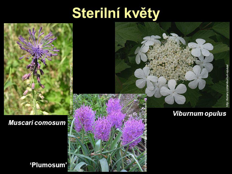 Sterilní květy Viburnum opulus Muscari comosum 'Plumosum'