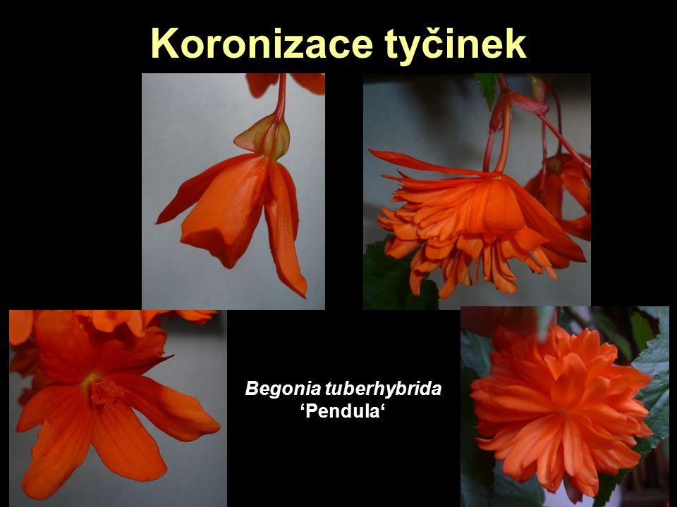 Koronizace tyčinek Begonia tuberhybrida 'Pendula'