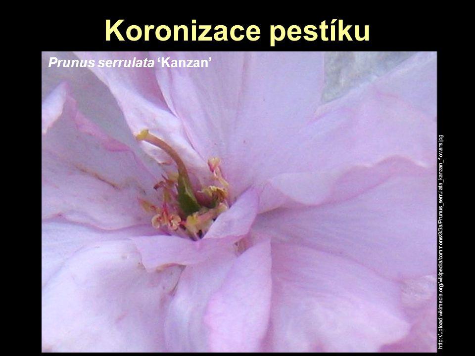 Koronizace pestíku Prunus serrulata 'Kanzan'