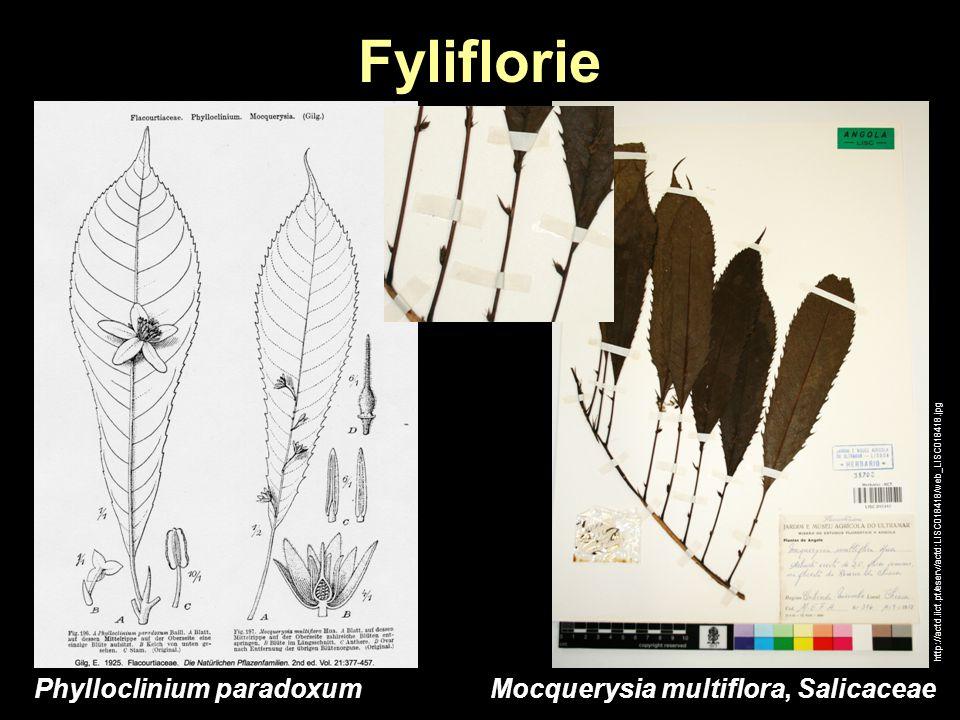 Fyliflorie Phylloclinium paradoxum Mocquerysia multiflora, Salicaceae