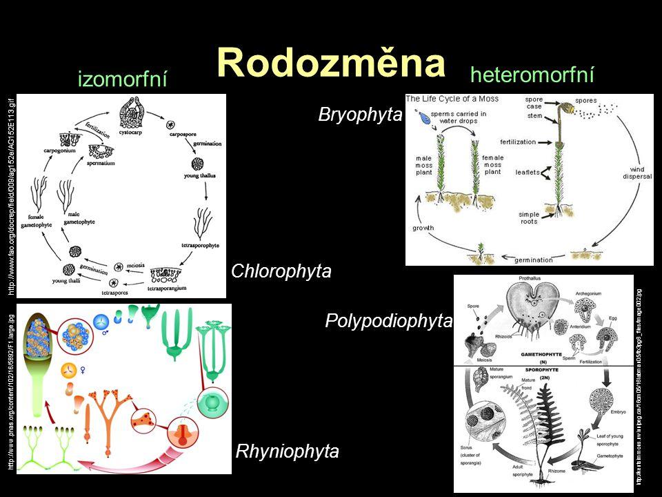Rodozměna heteromorfní izomorfní Bryophyta Chlorophyta Polypodiophyta