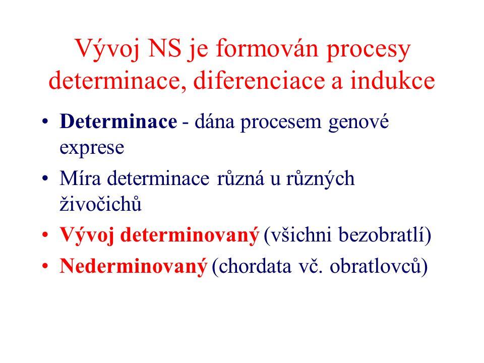 Vývoj NS je formován procesy determinace, diferenciace a indukce