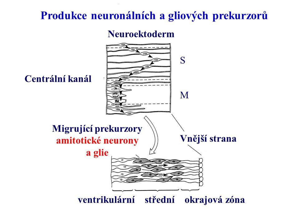 Produkce neuronálních a gliových prekurzorů