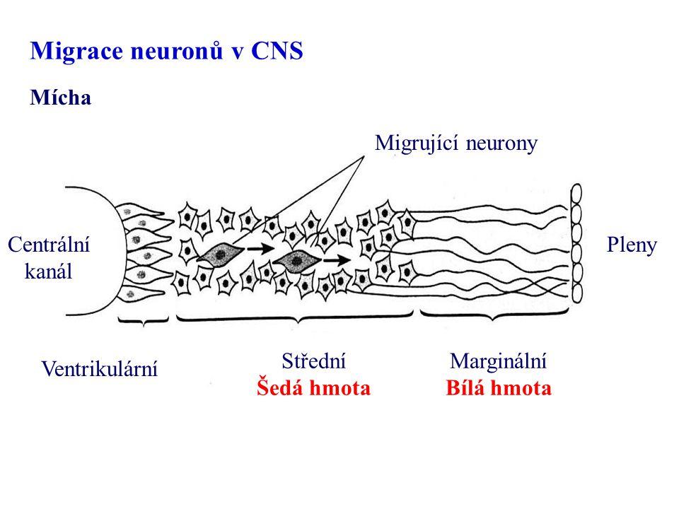 Migrace neuronů v CNS Mícha Migrující neurony Centrální kanál Pleny