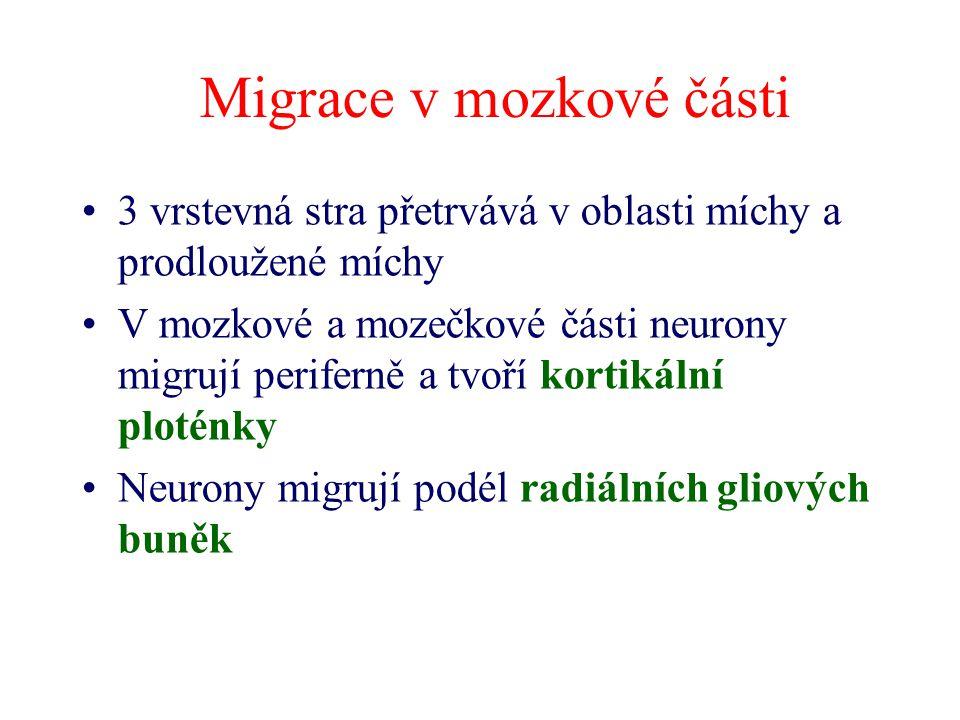 Migrace v mozkové části