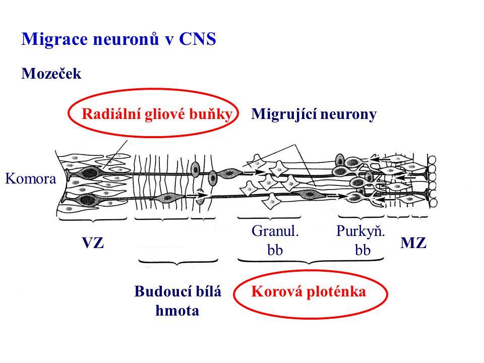 Migrace neuronů v CNS Mozeček Radiální gliové buňky Migrující neurony