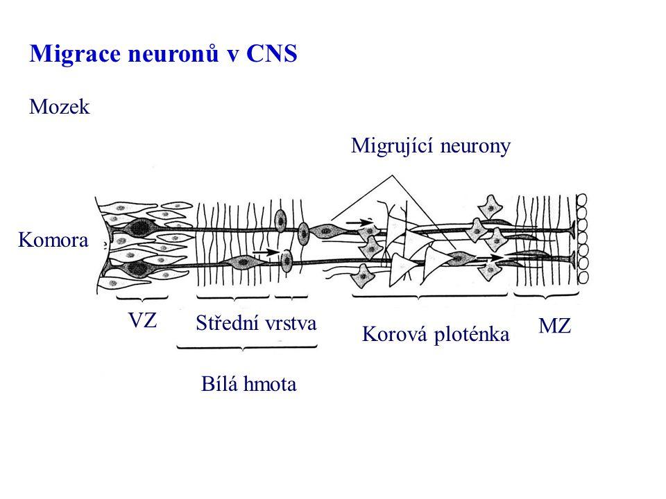 Migrace neuronů v CNS Mozek Migrující neurony Komora VZ Střední vrstva