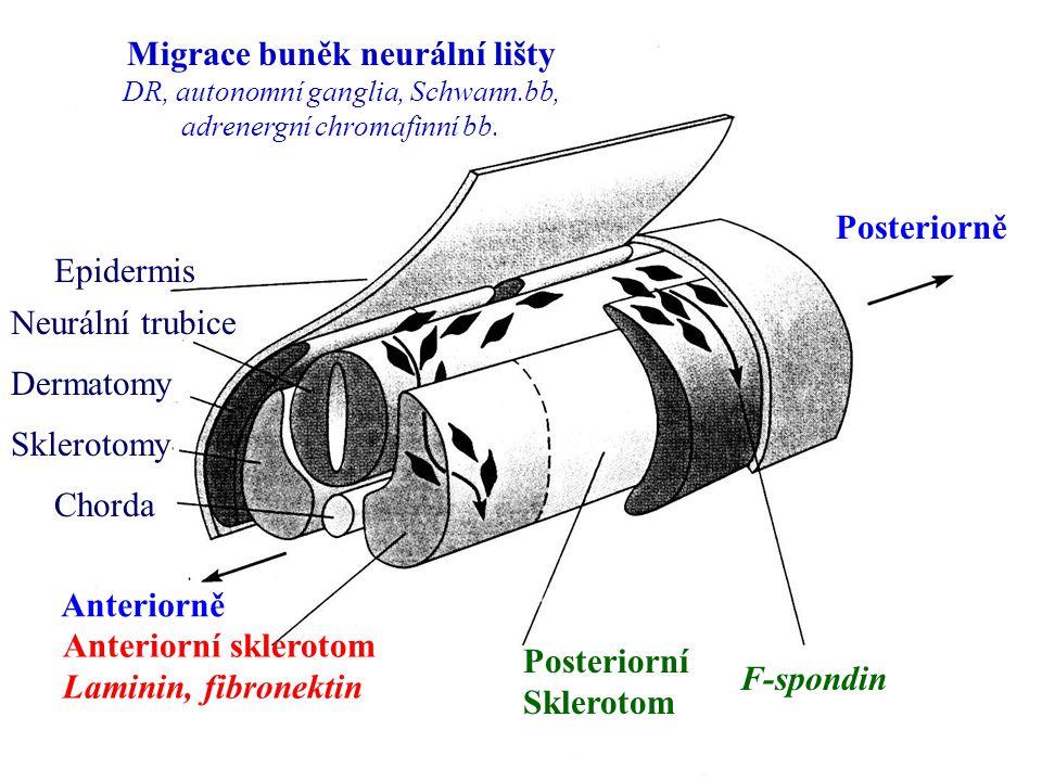 Migrace buněk neurální lišty
