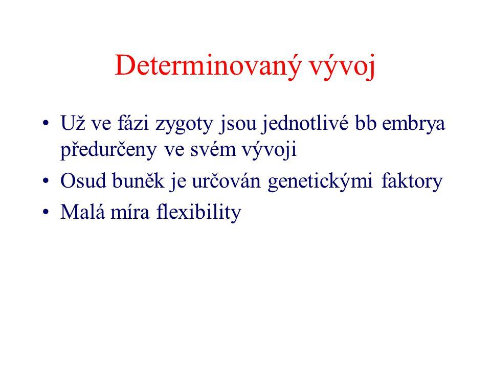 Determinovaný vývoj Už ve fázi zygoty jsou jednotlivé bb embrya předurčeny ve svém vývoji. Osud buněk je určován genetickými faktory.