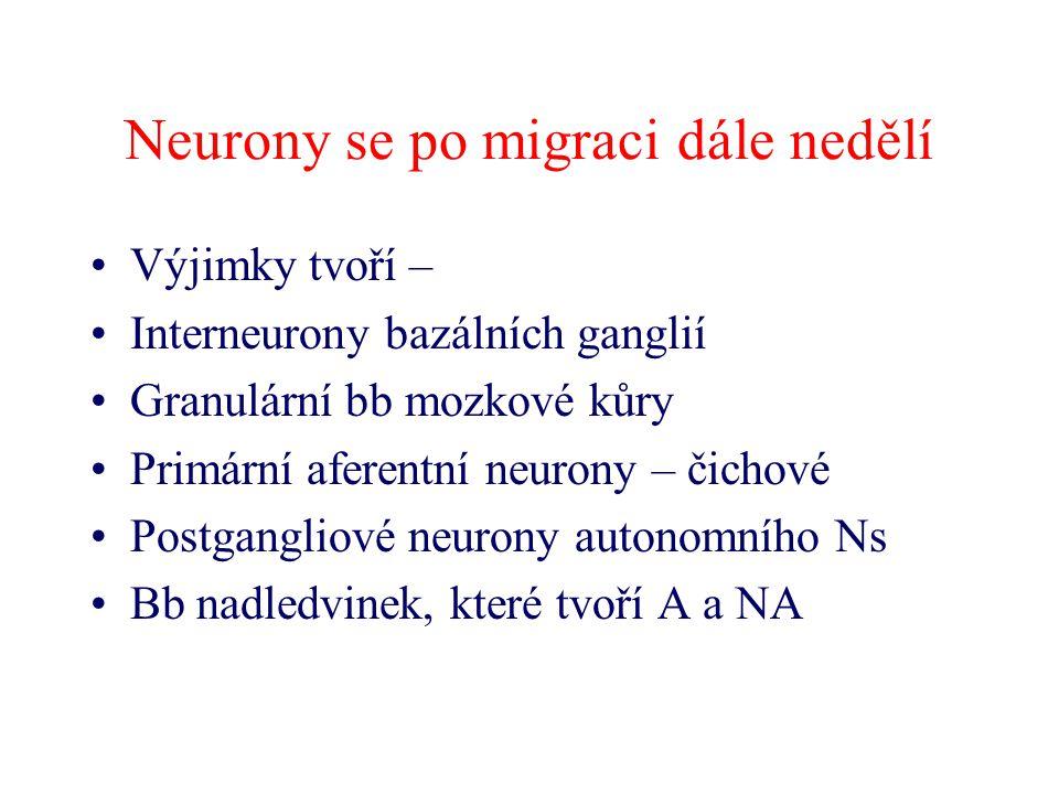 Neurony se po migraci dále nedělí