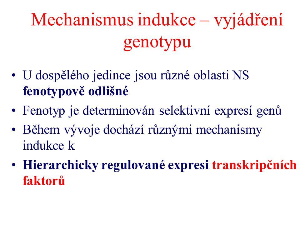 Mechanismus indukce – vyjádření genotypu