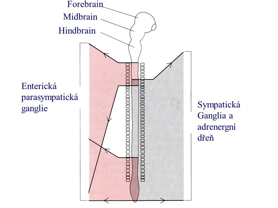 Forebrain Midbrain Hindbrain Enterická parasympatická ganglie Sympatická Ganglia a adrenergní dřeň