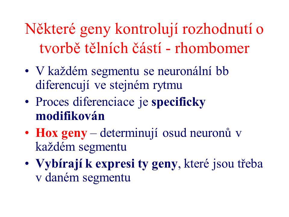 Některé geny kontrolují rozhodnutí o tvorbě tělních částí - rhombomer