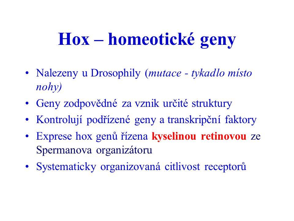 Hox – homeotické geny Nalezeny u Drosophily (mutace - tykadlo místo nohy) Geny zodpovědné za vznik určité struktury.