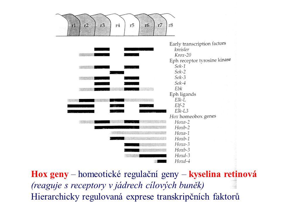 Hox geny – homeotické regulační geny – kyselina retinová