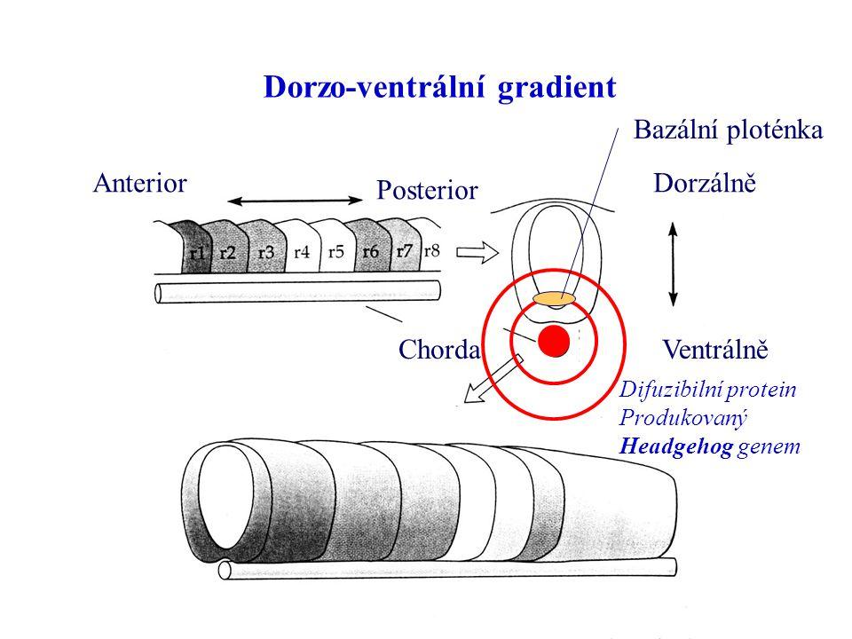 Dorzo-ventrální gradient