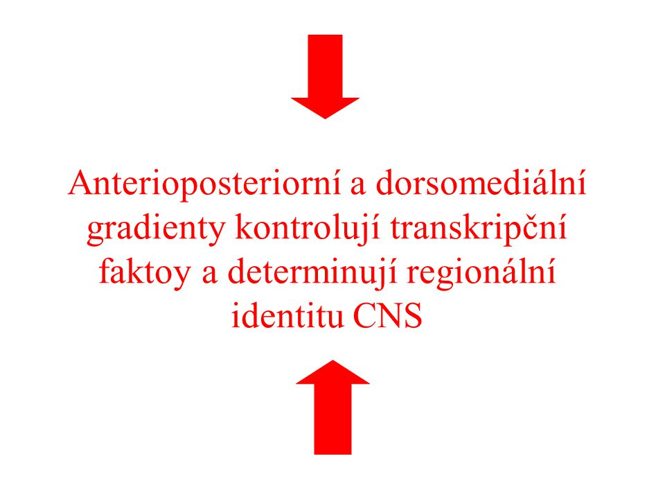 Anterioposteriorní a dorsomediální gradienty kontrolují transkripční faktoy a determinují regionální identitu CNS