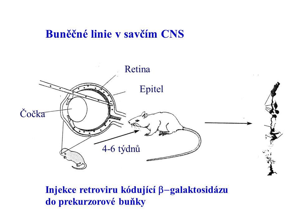 Buněčné linie v savčím CNS