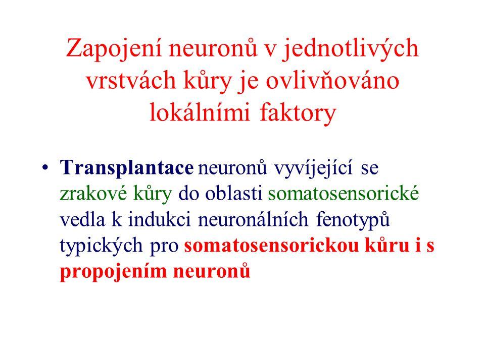 Zapojení neuronů v jednotlivých vrstvách kůry je ovlivňováno lokálními faktory