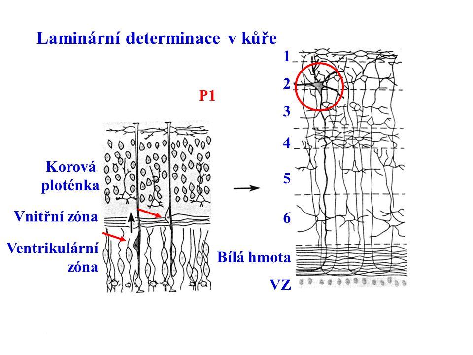 Laminární determinace v kůře