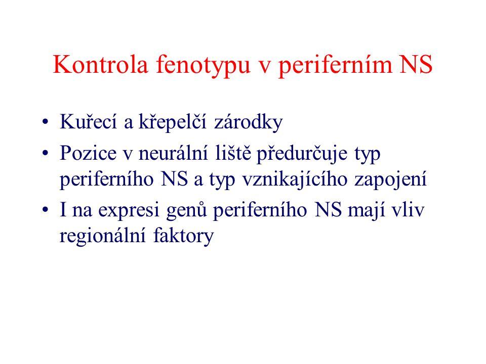 Kontrola fenotypu v periferním NS