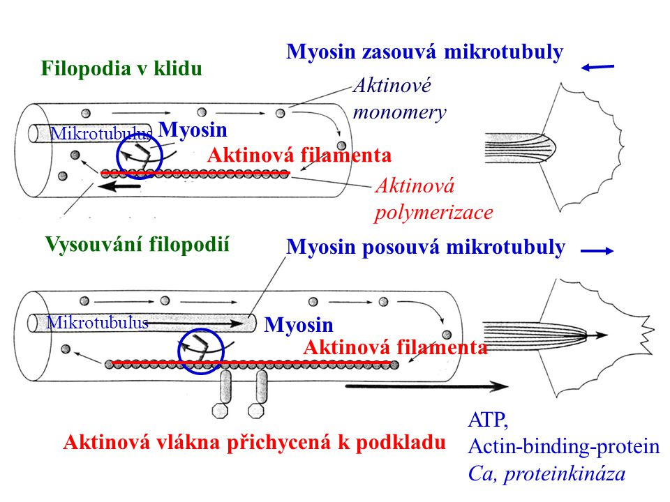 Myosin zasouvá mikrotubuly Filopodia v klidu Aktinové monomery Myosin