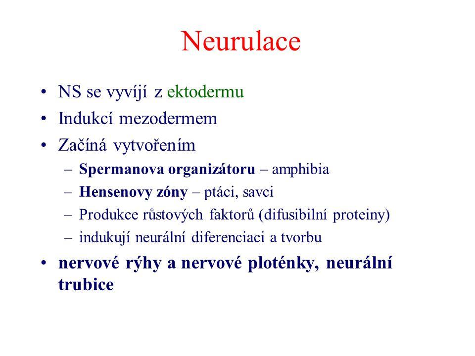 Neurulace NS se vyvíjí z ektodermu Indukcí mezodermem