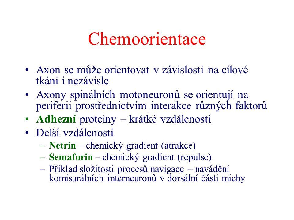Chemoorientace Axon se může orientovat v závislosti na cílové tkáni i nezávisle.