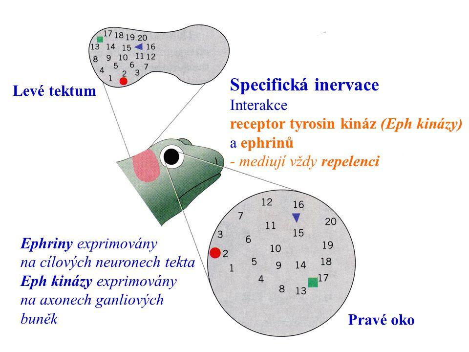 Specifická inervace Levé tektum Interakce
