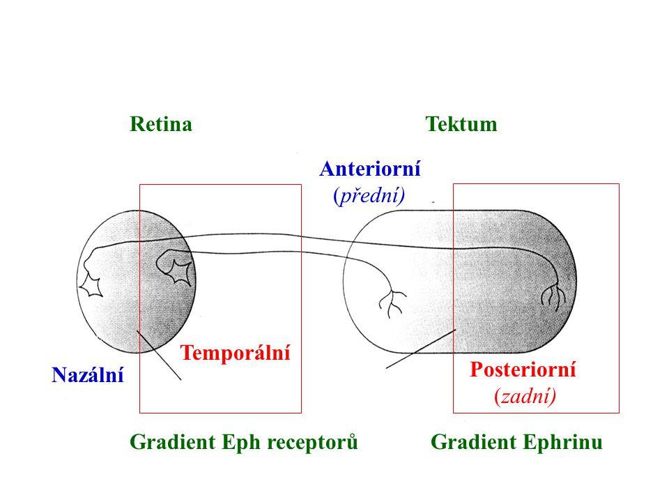 Retina Tektum. Anteriorní. (přední) Temporální. Posteriorní. (zadní) Nazální. Gradient Eph receptorů.