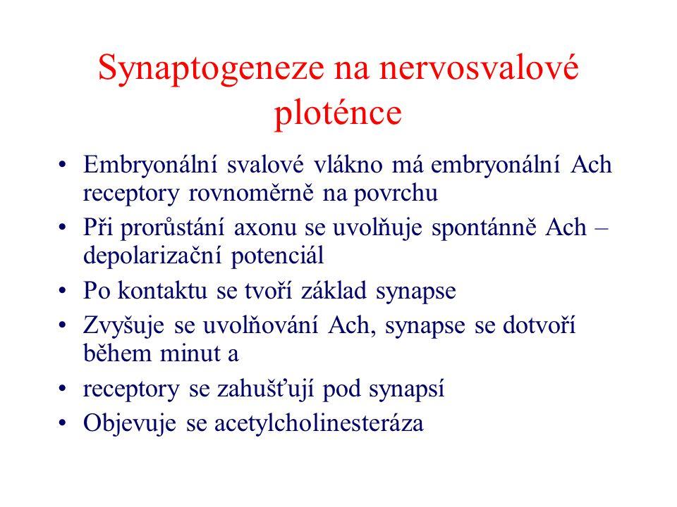 Synaptogeneze na nervosvalové ploténce