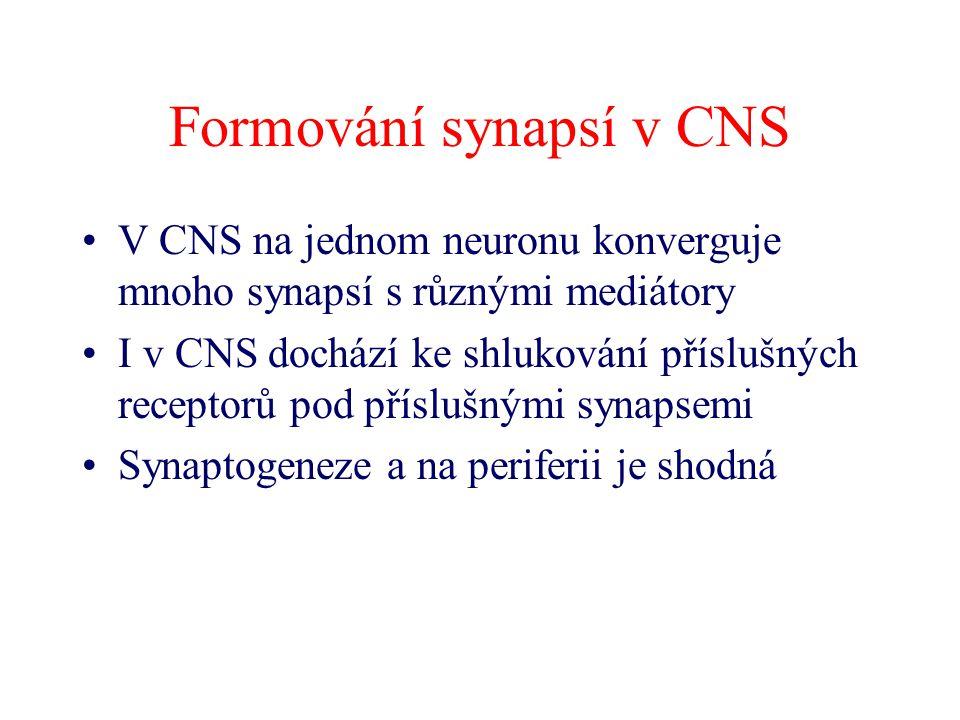Formování synapsí v CNS