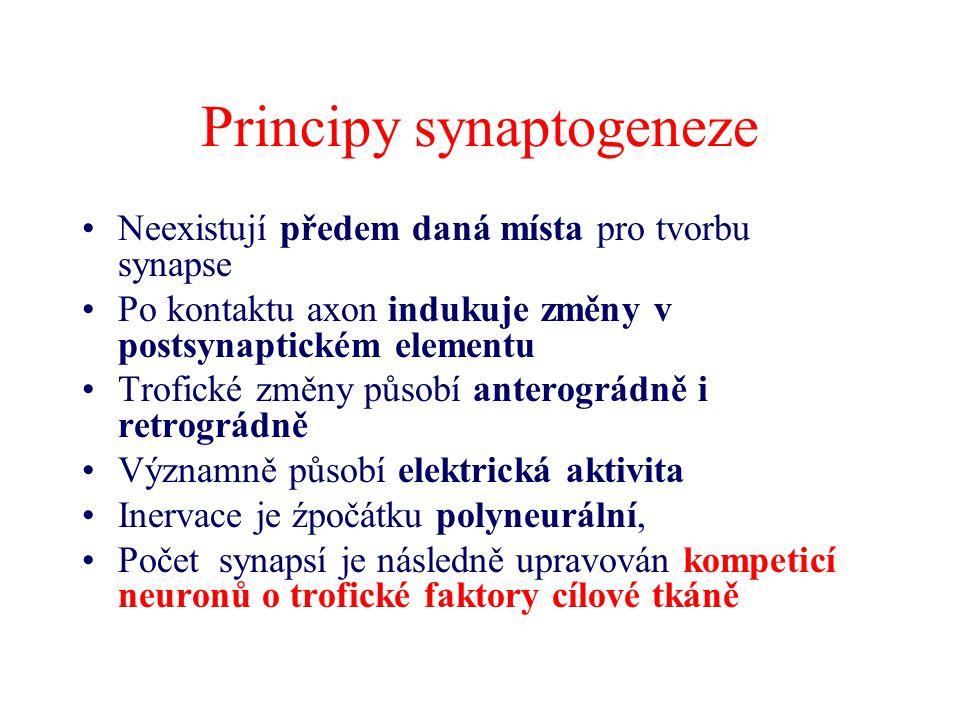 Principy synaptogeneze
