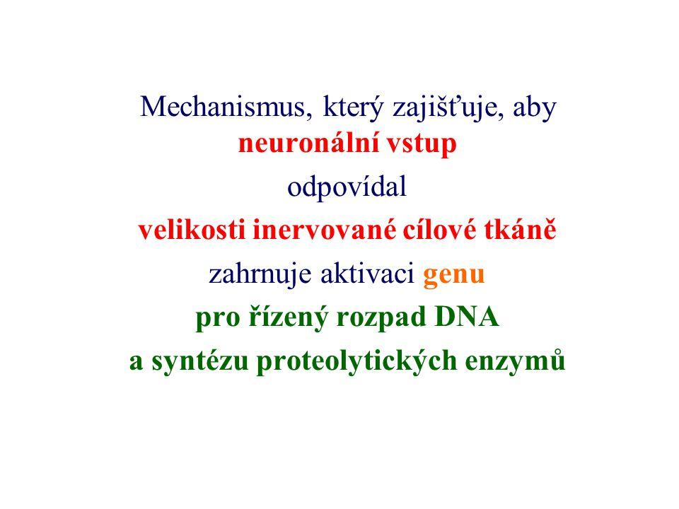 velikosti inervované cílové tkáně a syntézu proteolytických enzymů