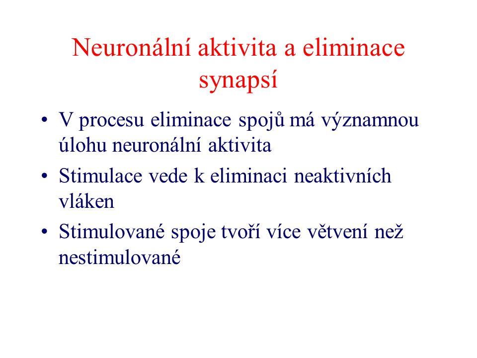 Neuronální aktivita a eliminace synapsí