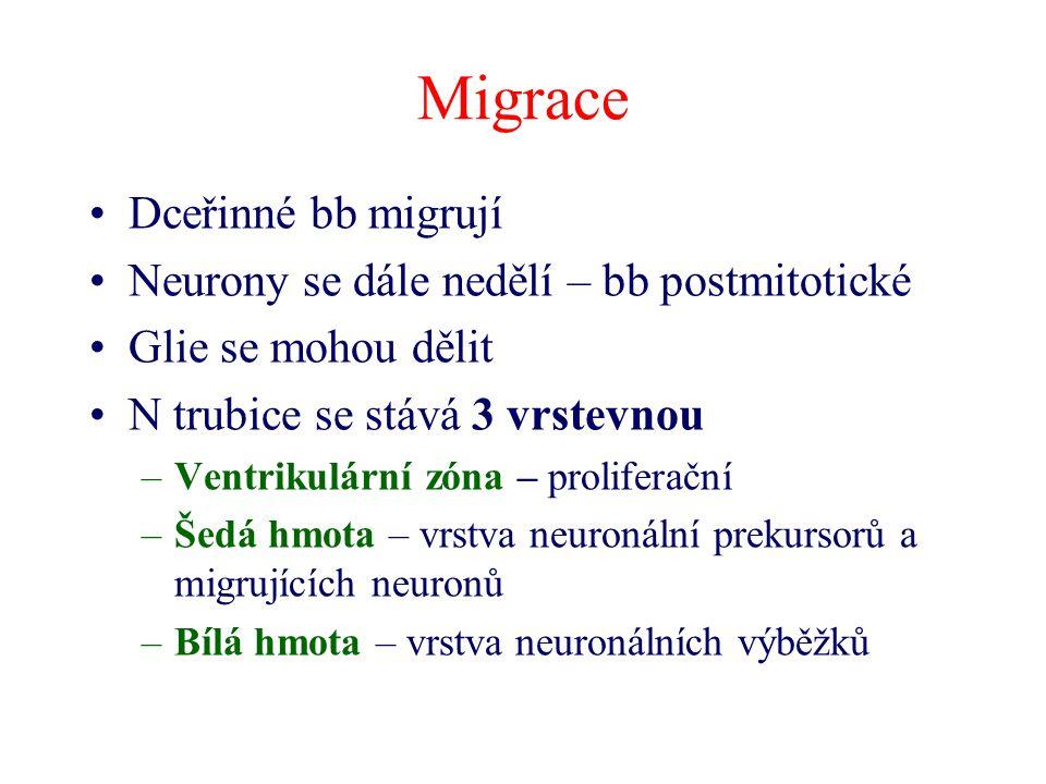 Migrace Dceřinné bb migrují Neurony se dále nedělí – bb postmitotické