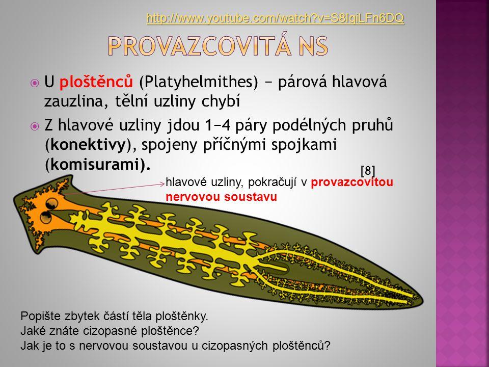 http://www.youtube.com/watch v=S8IqiLFn6DQ Provazcovitá ns. U ploštěnců (Platyhelmithes) − párová hlavová zauzlina, tělní uzliny chybí.