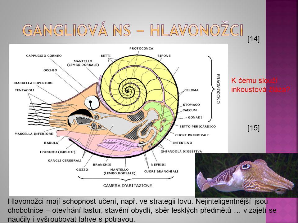 gangliová NS − hlavonožci