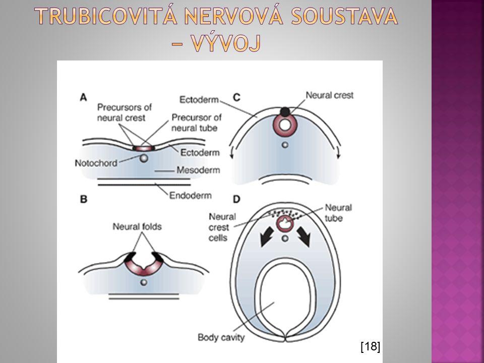 Trubicovitá nervová soustava − vývoj