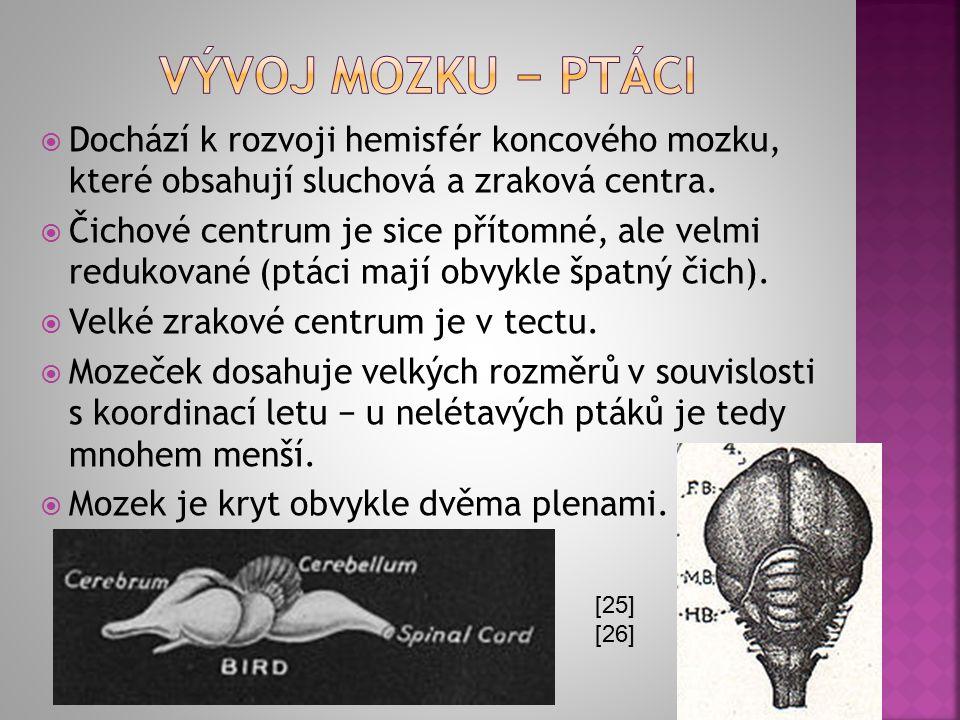 Vývoj mozku − ptáci Dochází k rozvoji hemisfér koncového mozku, které obsahují sluchová a zraková centra.