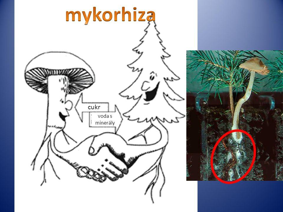 cukr voda s minerály mykorhiza mykorhiza