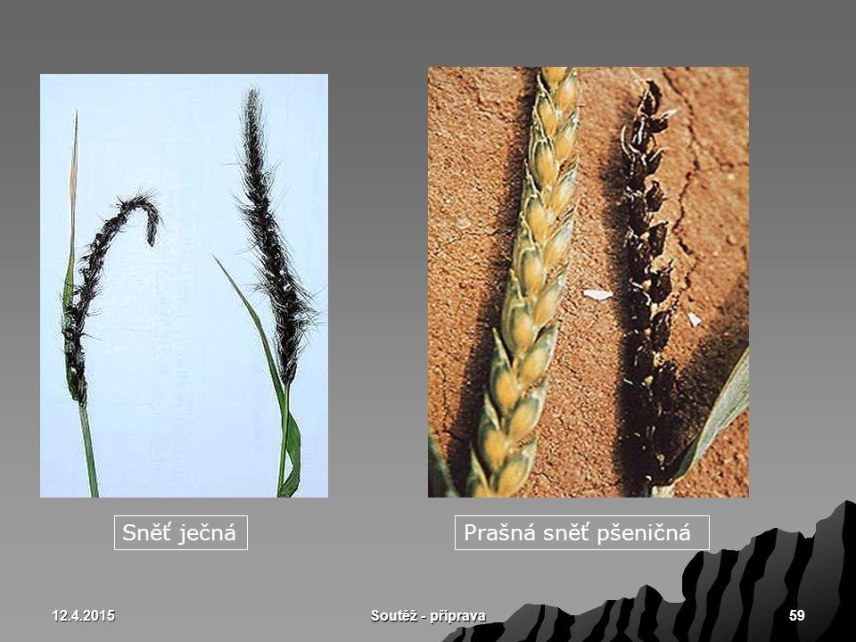 Sněť ječná Prašná sněť pšeničná 10.4.2017 Soutěž - příprava