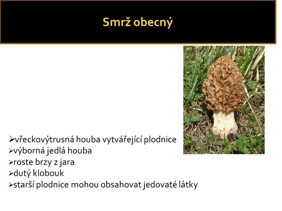 Smrž obecný vřeckovýtrusná houba vytvářející plodnice