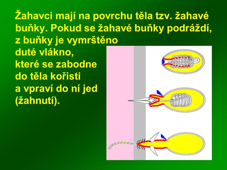 Žahavci mají na povrchu těla tzv. žahavé buňky