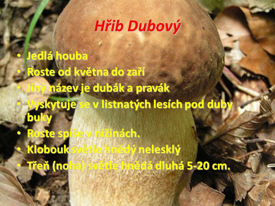 Hřib Dubový Jedlá houba Roste od května do zaří